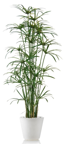 Papyrus Royal 170 cm Green